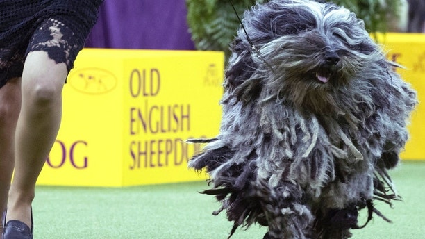 Faggia, a Bergamasco, competes in the herding group during the 142nd Westminster Kennel Club Dog Show, Monday, Feb. 12, 2018, at Madison Square Garden in New York. (AP Photo/Mary Altaffer)