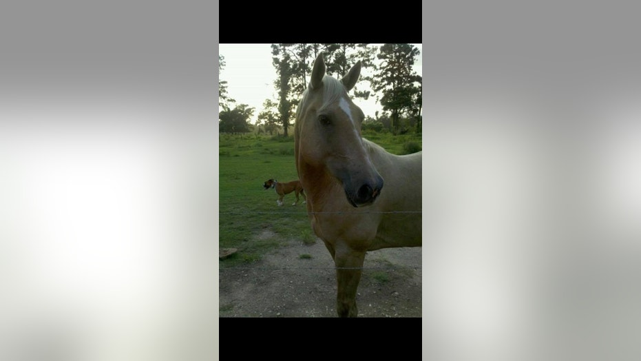 Sonny, a horse belonging to a family in southeast Texas was shot just before Christmas last year.