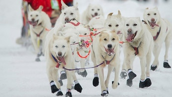 Alaskan musher Jim Lanier's dog team is all smiles during the ceremonial start of the Iditarod Trail Sled Dog Race, Saturday, March 3, 2018, in Anchorage, Alaska. (AP Photo/Michael Dinneen)