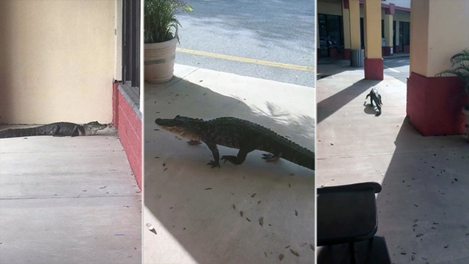 """An alligator was found doing """"window shopping"""" outside the consignment antique mall Junque in the Trunk in Flagler Beach, Florida."""
