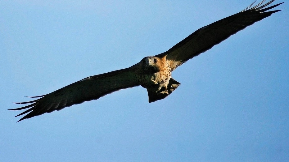 Fairfield, Conn. Residents Warned About Hawk Attacks