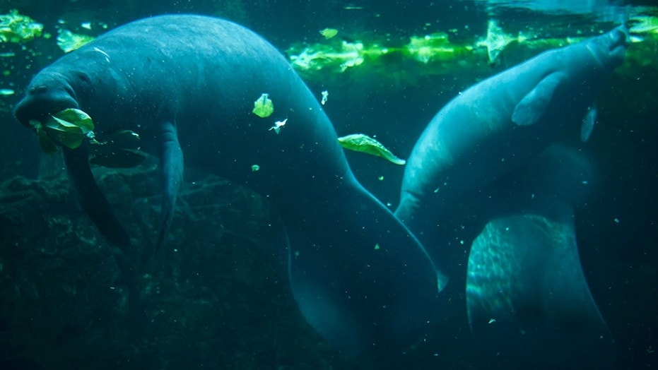 A Florida fisherman was arrested for allegedly harassing a group of manatees.
