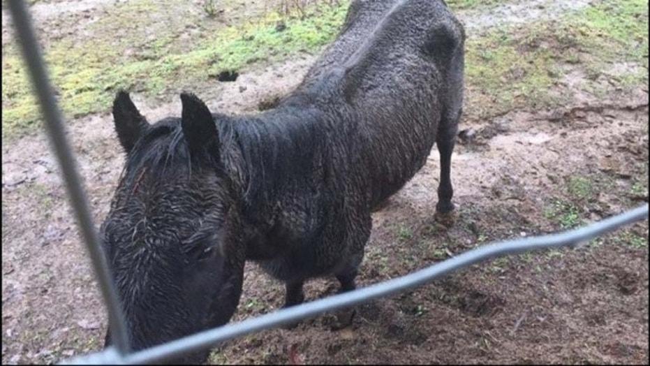 In this March 2017, Justice, an American Quarter Horse, was found to have been neglected for months by his owner in Cornelius, Oregon, a lawsuit alleges.