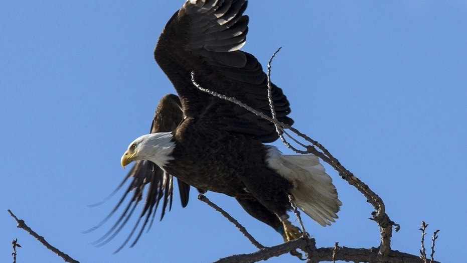 An American Bald Eagle flies off a tree branch above the Hudson River at Kingston Point in Kingston, New York.