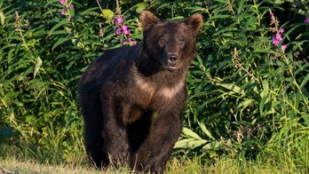 This curious black bear approached us while on its way to the river to catch salmon in the surroundings of Valdez, Alaska.