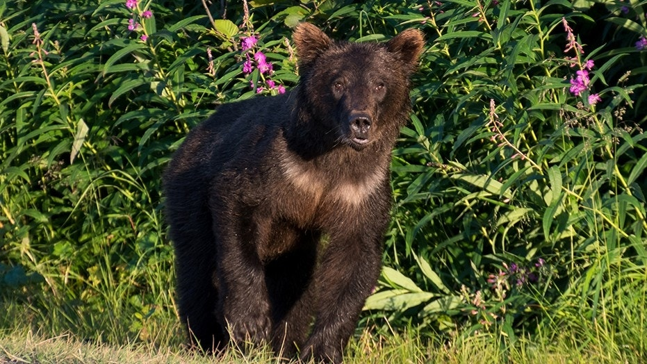 A five-year-old girl was seriously injured after she was attacked by a bear early Sunday morning