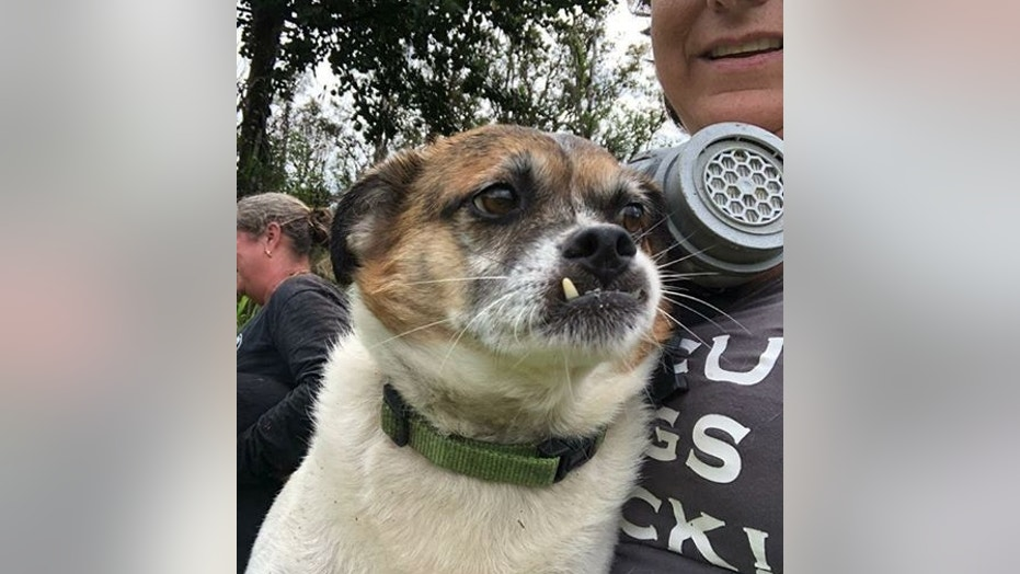 """Brus, pictured, and his adoptive brother Little Dude, were rescued Sunday morning after being missing for 10 days on Hawaii's Big Island. The dogs were found """"surrounded by lava."""""""