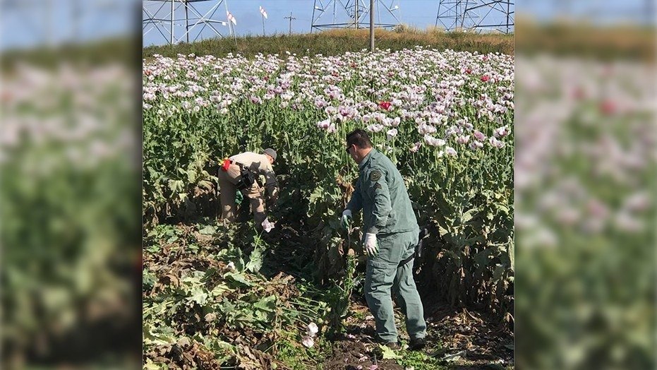 Monterey County Sheriff's Office has reported finding an opium poppy field under cultivation in Moss Landing in Northern California.