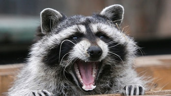 Masha, a female raccoon, yawns in her wooden refuge inside an open-air cage where she hibernates at the Royev Ruchey zoo in Krasnoyarsk, November 20, 2013. Many animals in the zoo are having difficulties hibernating due to unusually warm temperatures, employees of the zoo said.  REUTERS/Ilya Naymushin (RUSSIA - Tags: ANIMALS ENVIRONMENT SOCIETY) - GM1E9BK1NQK01