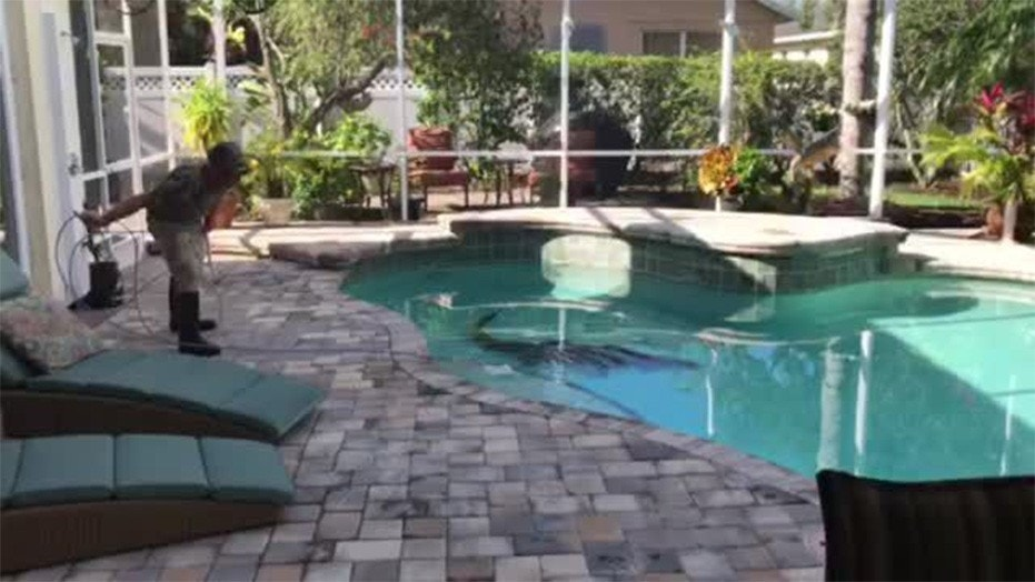 Florida couple finds 300 pound alligator swimming in their Blow up alligator for swimming pool