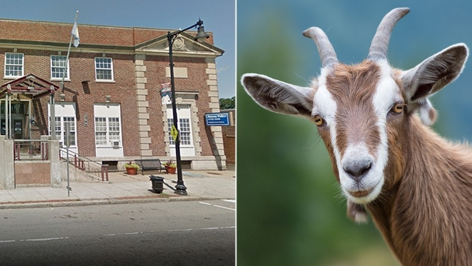 Instead of calling law enforcement, police say she drove her car – goat head still in place – about a half mile to the Hyde Park branch of the Boston Police Department (left).