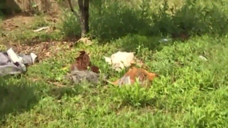 Some of the chickens that were killed in Trip Kiss' yard.