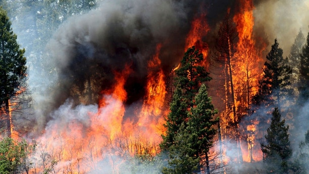 In this Monday, June 11, 2018, photo, flames consume trees during a burnout operation that was performed south of County Road 202 near Durango, Colo.  Firefighters use the technique as a means to control wildfires. (Jerry McBride/The Durango Herald via AP)