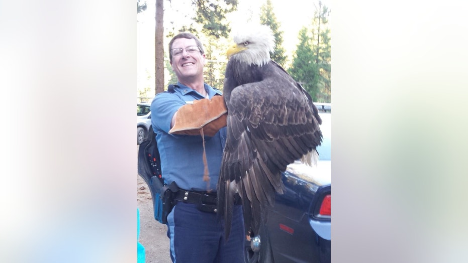 An Oregon State Police (OSP) sergeant rescued a wounded female eagle over the weekend before transporting it in a police cruiser, state authorities said on social media.