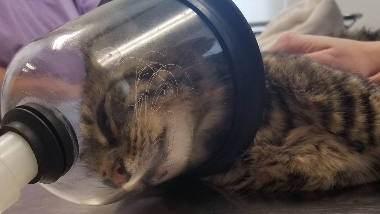 Cat seriously injured with firecracker; $500 reward offered for suspect's arrest
