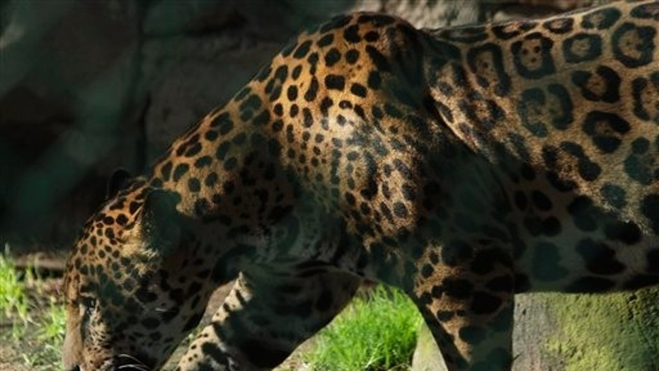 In this photo taken Aug. 17, 2011, a jaguar walks in a public zoo. Another jaguar was able to briefly escape its enclosure Saturday morning and kill several other animals.