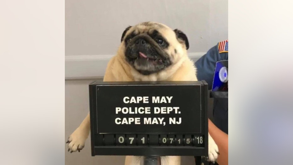 Police in Cape May, New Jersey released the #pugmug of a dog who was captured after he ran away from home.