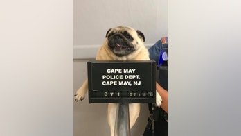 pug mug cape may police nj