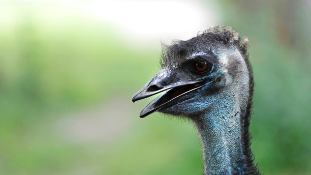 REMOVES NUMBER OF FOXES ATTACKED - An Emu is seen in its exhibit at the Audubon Zoo in New Orleans, Monday, July 16, 2018. The death of a wounded fox brings to nine the number of animals, including an emu, that have died as the result of the weekend escape of a jaguar from its enclosure at the zoo in New Orleans. Audubon Zoo officials say on the zoo's website that Rusty, one of the foxes attacked by the big cat, died Monday.  (AP Photo/Gerald Herbert)