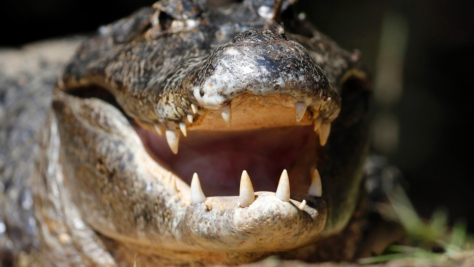 A Pennsylvania woman was stunned to find an alligator in her backyard.