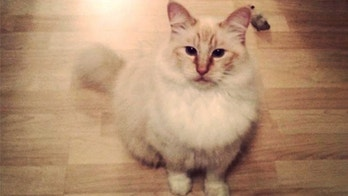 Five cats have been found killed and mutilated in Thurston County since February, 2018.. Olly is the last victim