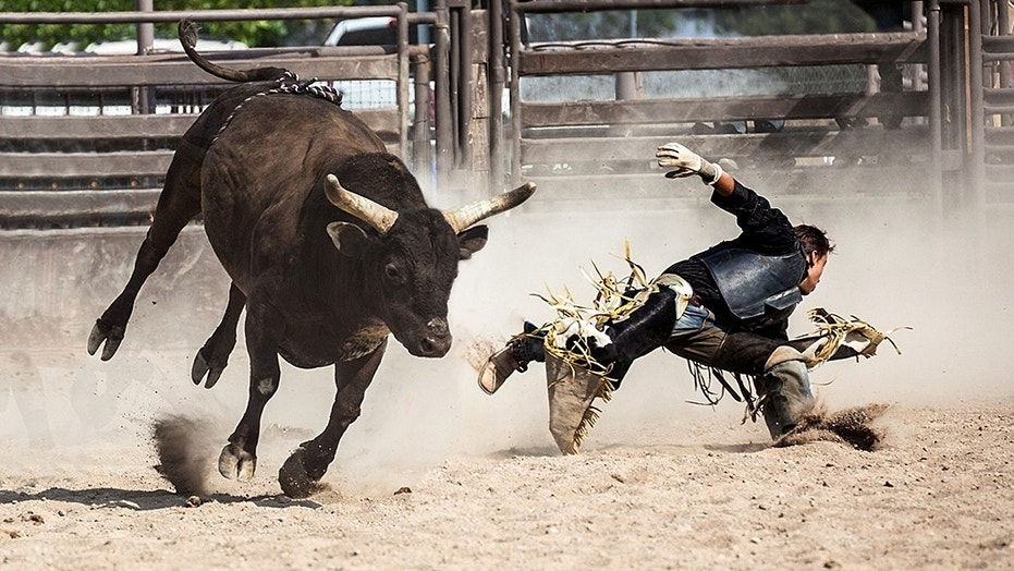 "A ""Rodeo Bull"" (not pictured) ran amok in Oklahoma City."