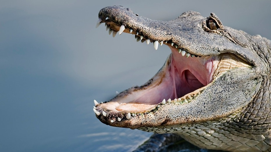 A woman was killed after an alligator (not pictured) attacked and dragged her into a lagoon on Monday, police said.