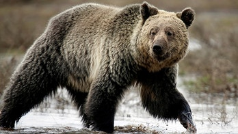 FILE PHOTO: A grizzly bear roams through the Hayden Valley in Yellowstone National Park in Wyoming, U.S. on May 18, 2014.   REUTERS/Jim Urquhart/File Photo - RC18669AE8C0