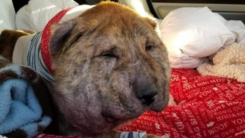 Gus was found by animal rescuers a week ago with a shoestring wrapped tightly around his neck.