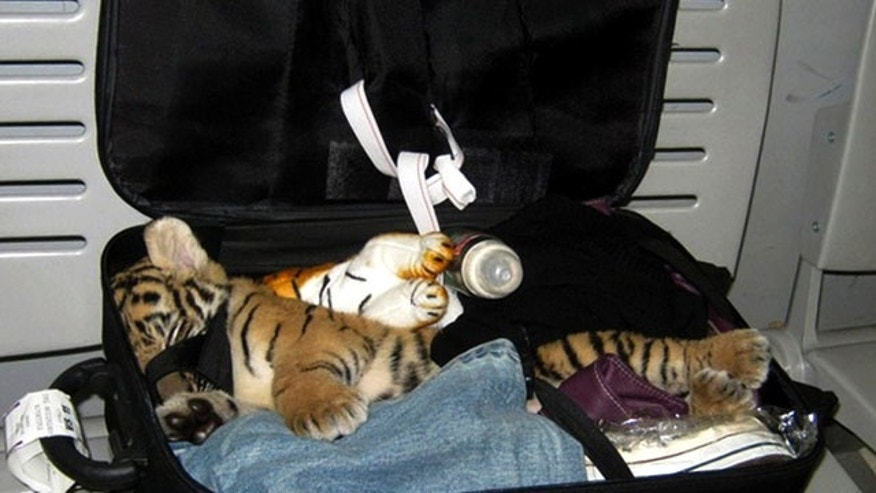 August 22: A baby tiger cub is found among stuffed toy tigers in the suitcase of a woman flying from Bangkok to Iran, at Suvarnabhumi Airport, in Bangkok, Thailand. Authorities at Bangkok's international airport found the baby tiger cub that had been drugged and hidden among stuffed toy tigers in the suitcase, an official and a wildlife protection group said Friday. (AP)