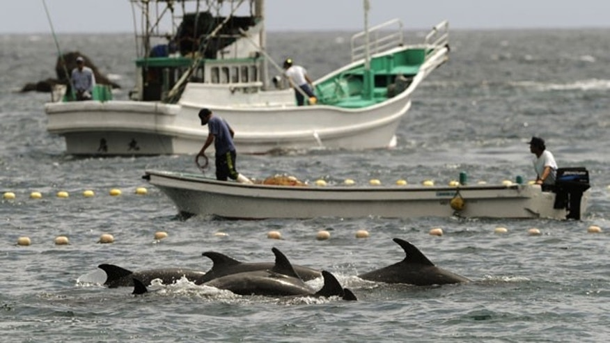 September 2: Fishermen drive bottle-nose dolphins into a net during their annual hunt off Taiji, Wakayama Prefecture, Japan. The Japanese government allows a hunt of about 20,000 dolphins a year, and argues that killing them, and also whales, is no different from raising cows or pigs for slaughter. (AP)
