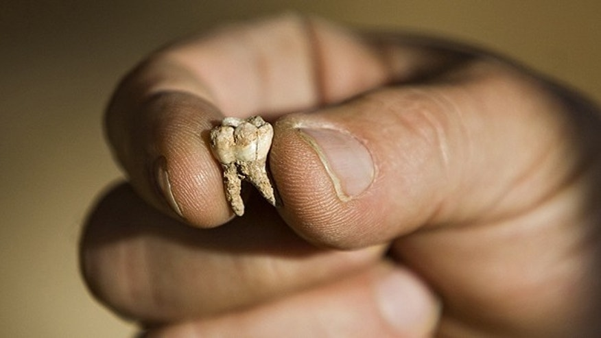 Dec. 27: Professor Avi Gopher from the Institute of Archeology of Tel Aviv University holds an ancient tooth that was found at an archeological site near Rosh Haain, central Israel.