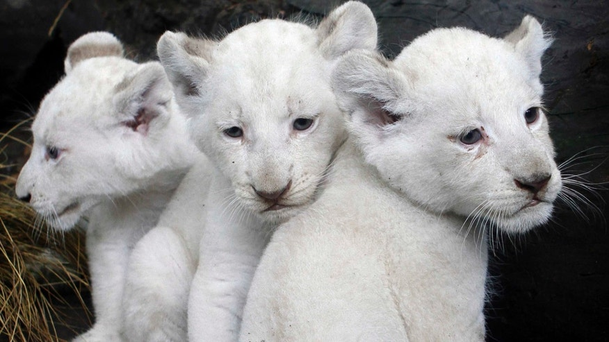 Three white lion cubs are presented to the public for the first time at the city zoo in Buenos Aires, Argentina, Wednesday Jan. 5, 2011. The cubs were born on Nov. 16, 2010.  According to zoo officials these are the first white lions to be born in South America. (AP Photo/Eduardo Di Baia)