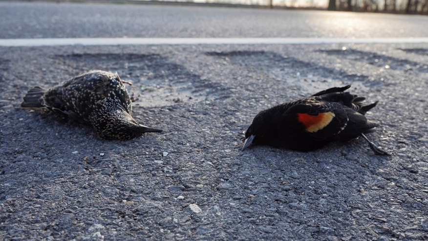 DEAD BIRDS-LOUISIANA