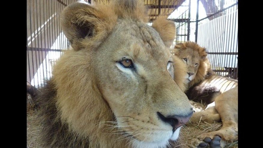 Facing Freedom: Two of the male lions rescued by Animal Defenders International, now safe at the holding compound, are awaiting a wonderful new start in Colorado.