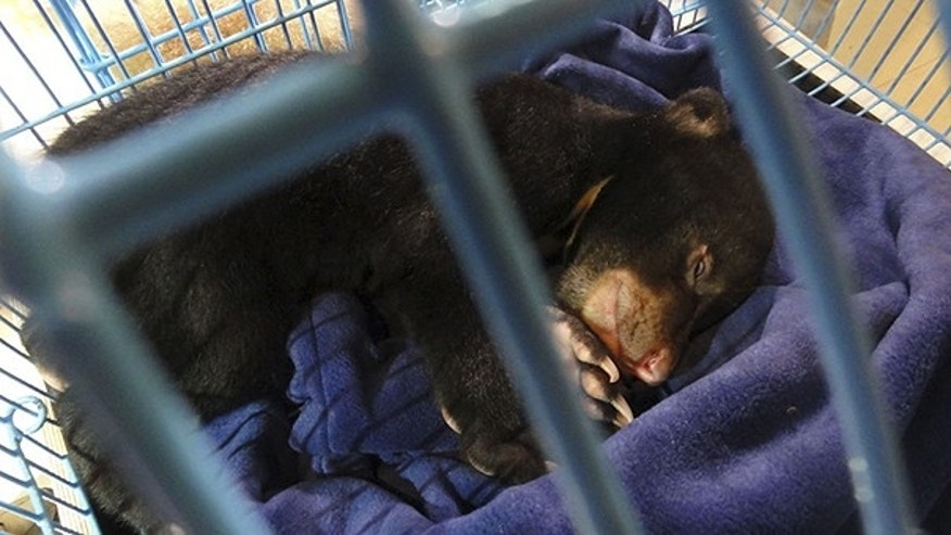 May 13: In this photo released by the FREEDLAND Fundation, a bear cub sleeps in a cage after being confiscated by Thai authorities at Bangkok's Suvarnabhumi International Airport.