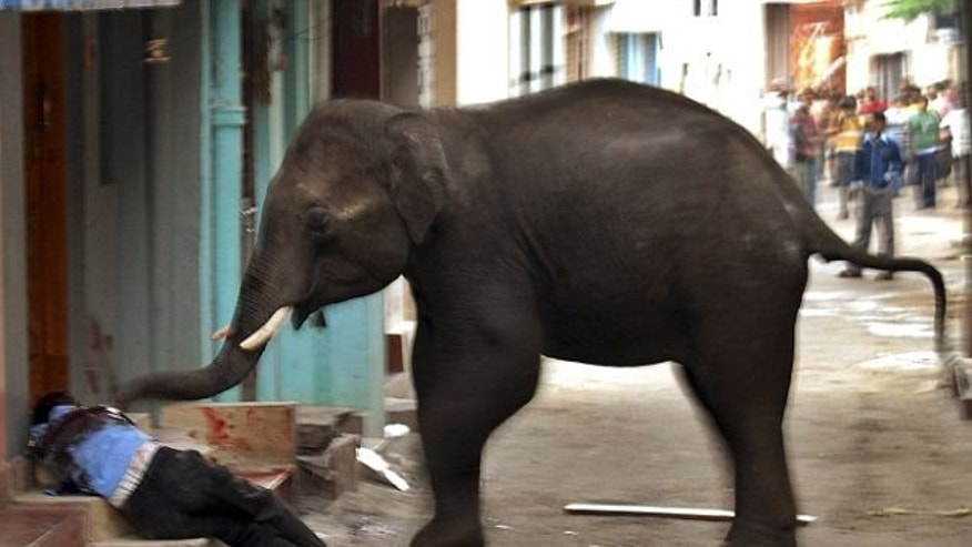 One of two wild elephants that went on rampage June 8, 2011 in Mysore, in southern Indian state of Karnataka. One man was killed. The animals were caught, tranquilized and returned to the wild.