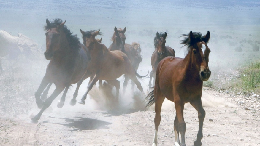 EUREKA, NV - JULY 8:  A group of wild horses is rounded up during a gathering July 8, 2005 in Eureka, Nevada. The U.S. Bureau of Land Management wants to reduce herds in the American west, where an estimated 37,000 of the horses roam free, to 28,000 by the end of 2005. The U.S. periodically removes thousands of horses and donkeys in an attempt to ensure western rangelands have adequate food and water for the animals to survive. Those animals are either adopted out or housed indefinitely on government sanctuaries. Currently 24,000 horses and donkeys are housed in government-run facilities. Recently passed legislation allows for the sale for slaughter of wild horses and donkeys older than ten years old and animals that have been unsuccessfully offered for adoption at least three times, eliminating restrictions that had been in place since 1971 which prevented wild horses from being sold commercially.  (Photo by Justin Sullivan/Getty Images)
