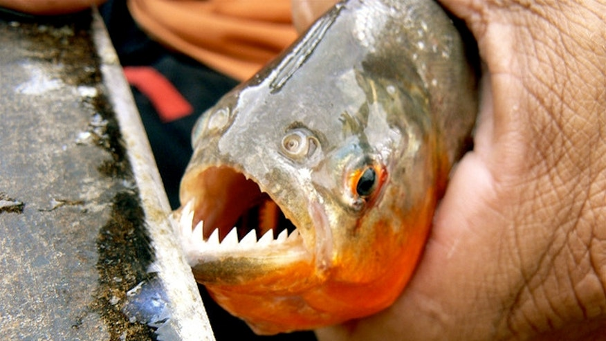 These omnivorous fish are known for their razor sharp teeth and appetite for flesh. There is of course also the famous story involving Teddy Roosevelt where South American guides showed him a pack of famished piranhas reducing a juicy cow to bones in less than 60 seconds.