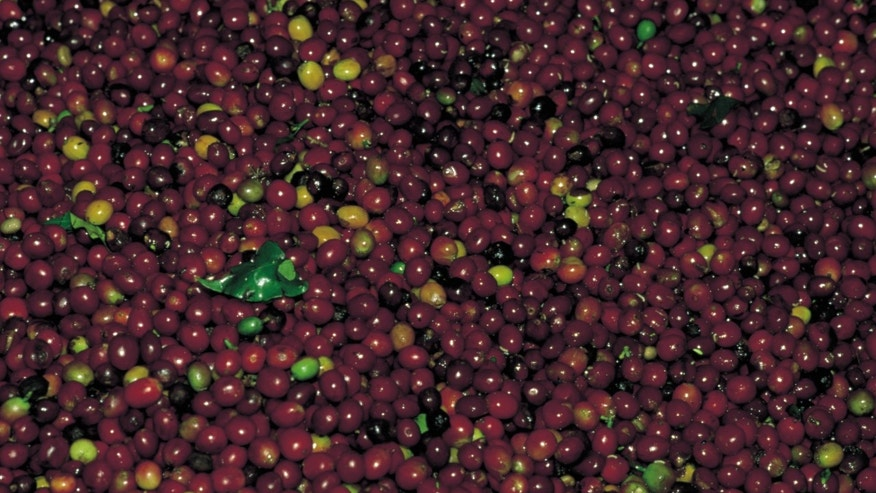 Grains of coffee view of grains of Colombian coffee.