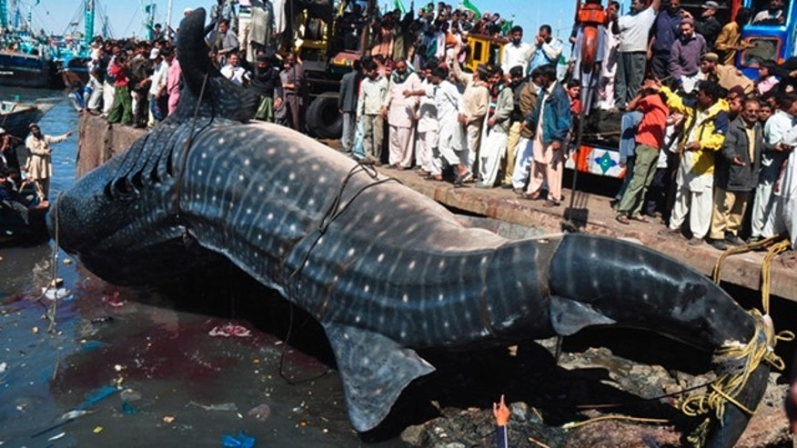 Feb. 7, 2012 People look at a carcass of whale shark in Karachi, Pakistan. The 40-foot whale was found dead near Karachi in the Arabian Sea
