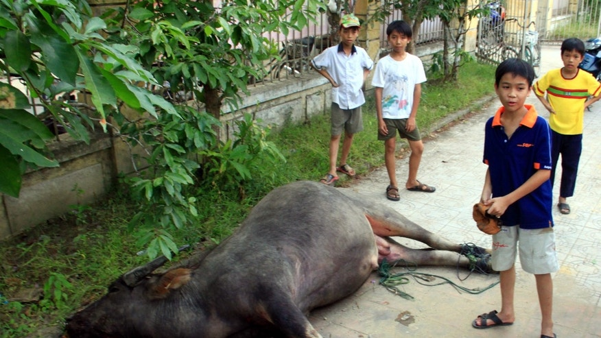 May 10: A water buffalo lies dead outside a kindergarten in central Hue City, Vietnam.  The buffalo injured 10 people  while on a wild tear through crowded streets, across a river and inside a house before being gunned down at a kindergarten.