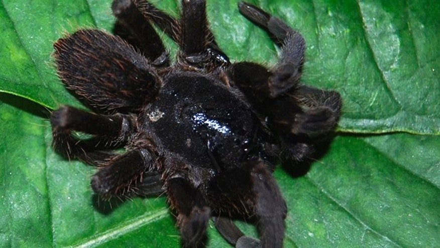 May 30, 2012: A spider suspected to be a new species of tarantula in Tinsukia, Assam state, India, is shown. The hairy spiders were first noticed about a month ago across Tinsukia district's grassy plains and dense jungle forests north of the Brahmaputra River. Colonies of giant, biting spiders are attacking villagers and causing painful swelling that frightened victims are dangerously draining themselves with razor blades in remote northeast India, officials said Tuesday, June 5, 2012.