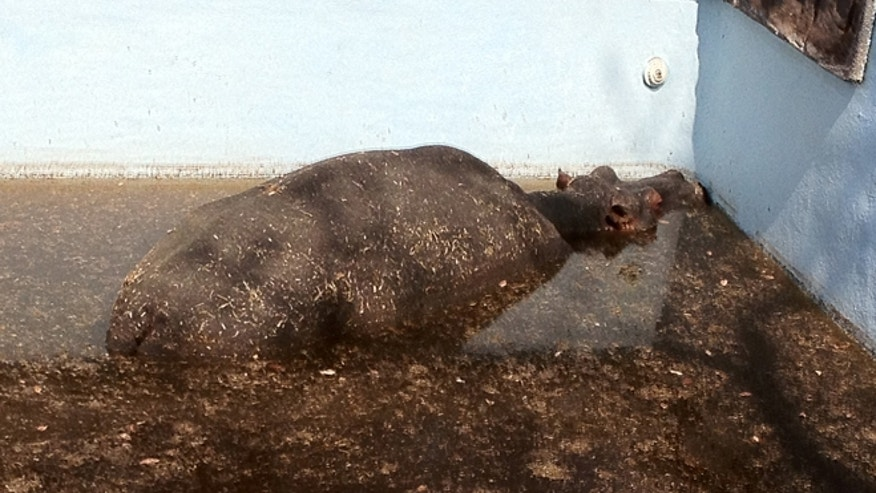 """This photo, provided by <a href=""""http://ewn.co.za/en/"""" target=""""_blank"""">Eyewitness News</a>, shows a hippo stuck in a swimming pool at Monate Conservation Lodge in South Africa."""