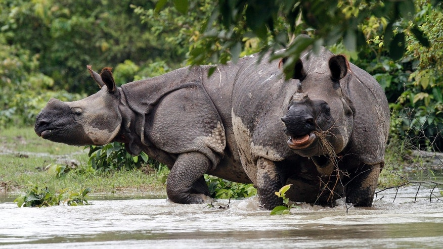 July 21, 2012: One-horned Rhinoceros wade through floodwaters at Pobitora wildlife sanctuary in the northeastern Indian state of Assam.