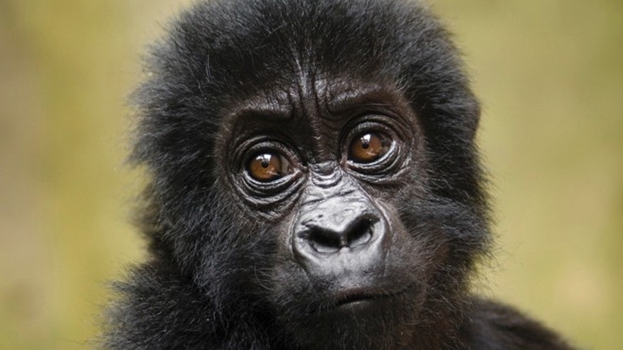 Sept. 15, 2012: A baby Grauer's gorilla that had been poached from Kahuzi-Biega National Park is seen at the Senkwekwe Orphan Gorilla Center at Virunga National Park in eastern Congo.