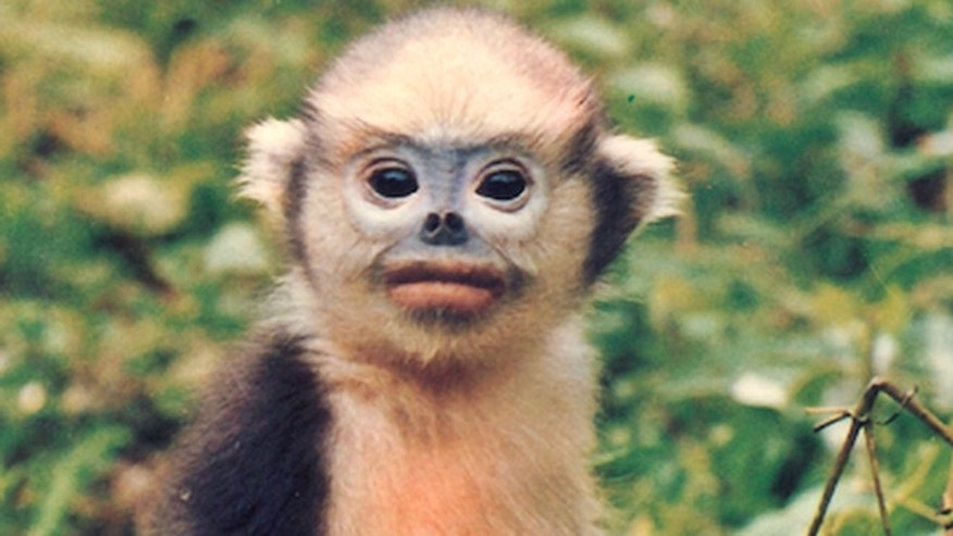 A Tonkin snub-nosed monkey, one of twenty-five species of monkeys, langurs, lemurs and gorillas on the brink of extinction from increasing deforestation and illegal trafficking.