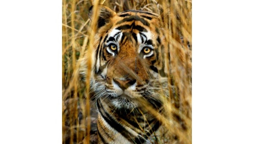 File: March 23, 2000: An Indian tiger looks out from a cover of straw grass in Ranthambhore National Park in India.