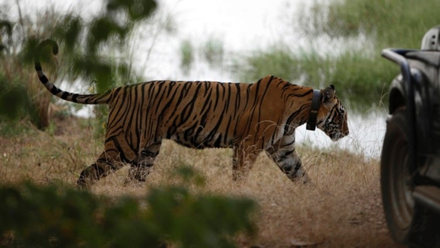 File: Oct. 22, 2010: A tiger walks past a vehicle carrying tourists at Ranthambore National Park in Ranthambore, India.