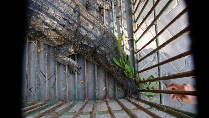 Nov. 6, 2012: Sakher, a crocodile captured and named by Palestinian police after it lived in a sewage pond since fleeing the zoo in Beit Lahia, northern Gaza Strip two years ago, is seen through cage bars.